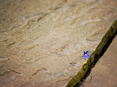 Blue dot (redRob13) Tags: flowers blue rain sandstone patio iwant5 75points