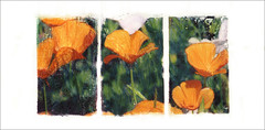 spring (Kelly Angard) Tags: collage poppies transfer photoart tryptich imagetransfer alternativeprocess alteredimage alteredphoto kellya mixedmediaart phototransfer kellyangard thecraftygirl kellyafineartphotography