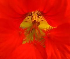 Orange Petals (Vaguely Artistic) Tags: venice flower macro canon noiseninja vaguelyartistic powershots2is ccmpclosencounter
