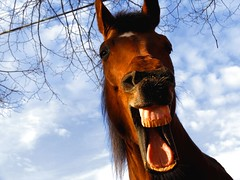 April fool! (Dan65) Tags: horse head 10 yawn explore laugh top20horsepix thoroughbred aprilfool top20horse top20funniest karakum