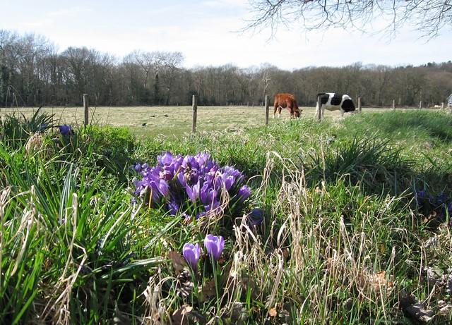 Springing cows?