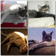 Mako, Moby, Pasta, and Sophia (Danarah) Tags: animal cat mosaic 2006 pasta april moby sophia mako week20 4706 whatdoyouwant kissablekat 3taw20