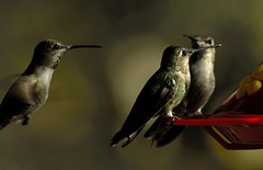 At the water cooler (iwasfixin2) Tags: california bird birds hummingbird aves hummer avian annashummingbird calypteanna stelzerpark animalkingdomelite