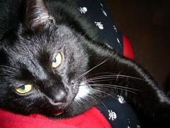 lap kitty