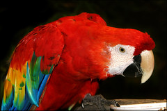 Looking for the Special Seed (Domain Barnyard) Tags: pet bird animal colorful beak feathers parrot 2006 canoneos20d eatting macaw tingey domainbarnyard