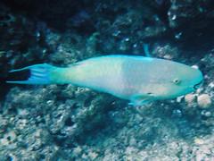 Hot lips fish (Mobile Hamish) Tags: hawaii hanaumabay
