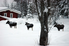 Moose Warning (Joopey) Tags: winter snow cold tree nikon d70 sweden d70s freezing moose hut elk dalarna frostbites