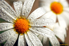 Water drops in the sun light (Dietrich Bojko Photographie) Tags: flower macro water d50 easter drops webinteger quality nikond50 55mm instantcoffee nikkor1855mm raynoxm250 specnature gtaggroup goddaym1 fantasticflower 3000v120f fivestarsgallery abigfave superbmasterpiece ecardme