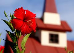 RED HIBISCUS (JRmanNn) Tags: flower chapel steeple hibiscus guam 4greg flowerguam guvacay