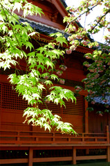 Greetings from Japan to all, (june_c_oka) Tags: light shadow tree leaves japan cherry leaf spring maple shrine asia sakura oriental loom u9 feaf junecoka