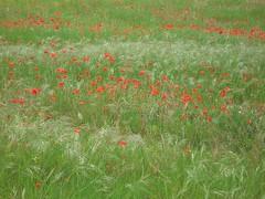 Papaveri. Campo spontaneo (Smeerch) Tags: red field weed lawn erba poppy poppies campo rosso puglia bari andria papaveri apulia papavero contrada pugliese gramigna speargrass tafuri poppiesfield scutch pugliesi