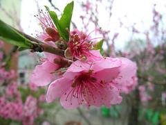 Pink Blossoms (adamantine) Tags: pink flower nature fleur ilovenature spring blossom flor blossoms loveit bloom april blume fiore blte bloesem corderosa roze bloem