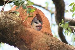 Da srie: Isto  um Gamb? From the series: Is this a Skunk? 172 - 10 (Flvio Cruvinel Brando) Tags: brazil naturaleza nature animal animals braslia brasil opossum natureza skunk animais gamb blueribbonwinner