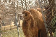 Ein Kamel (Azchael) Tags: park germany deutschland zoo europa europe stuttgart botanicalgarden wilhelma  botanischergarten   zoologicalgarden  taxonomy:kingdom=animalia mitteninderstadt