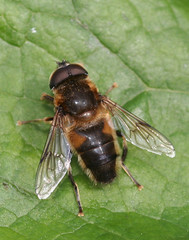 """hoverfly(14) • <a style=""""font-size:0.8em;"""" href=""""http://www.flickr.com/photos/57024565@N00/133347259/"""" target=""""_blank"""">View on Flickr</a>"""