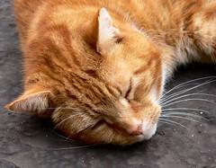 Sweet Dreams (Bobby8) Tags: sleeping orange pet animal topv111 cat ginger topv555 topv333 lazy asleep hodgson panasonicfz30