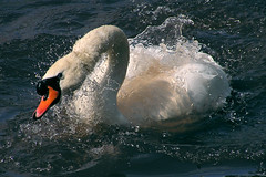 Swan (stalkERR) Tags: bird animal zoo swan splashes notpicked