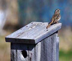 singing (eva8*) Tags: house bird backyard singing birdhouse sparrow sing lookatme songsparrow eva8 featheryfriday 2013 200mm28 200f28l