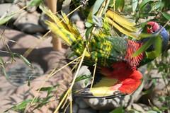 hang on baby (mhancock) Tags: zoo louisville lorikeets