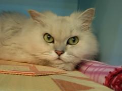I hear?! (jacky elin) Tags: cats look female cat 2006 mimi chinchilla 貓