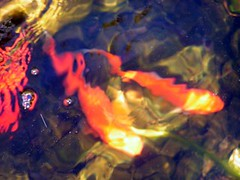 Goldfish Pond (Ange's photos) Tags: blue orange fish green water yellow catchycolors garden pond goldfish goldfishpond patchworkquilt gardenresidents spring2006