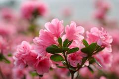 IMG_1303.jpg (olvwu | ) Tags: pink usa flower ga georgia spring azaleas pinkflower savannah azalea jungpangwu oliverwu oliverjpwu flickrexplore olvwu bestofpink jungpang