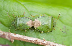 "Mating Green Sheild Bugs (Palomena prasina) • <a style=""font-size:0.8em;"" href=""http://www.flickr.com/photos/57024565@N00/137357402/"" target=""_blank"">View on Flickr</a>"