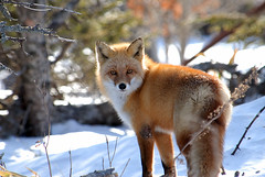 Red Fox eyeballing - Hokkaido, Japan (M Carmody Photography) Tags: snow cold nature animals japan bravo hokkaido fox mammals naturesfinest mywinners natureoutpost bfgreatesthits