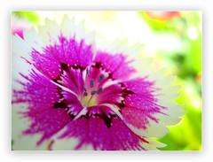 Rorschach Test! (!!sahrizvi!!) Tags: pink pakistan flower macro nature closeup tag3 taggedout canon garden ilovenature focus colorful soft tag2 tag1 dof bokeh outdoor powershot karachi a620 rizvi sahrizvi sarizvi passionatelypinkforthecure pinkforthecure pinkforcure