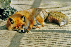 sleepy fox (bea2108) Tags: animal animals zoo fox