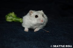 *LiLi* (Seattle Roll) Tags: pet pets animal animals d50 broccoli hamster campbell