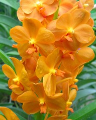 Orange Orchid in Chiang Mai, Thailand (_takau99) Tags: 2005 trip travel flowers vacation orange holiday orchid flower color macro cute beautiful topv111 topv2222 thailand topv555 topv333 nikon colorful asia southeastasia topv1111 topv999 topv444 august 321 topv222 thai tropical coolpix chiangmai topv777 s1  topv3333 catchycolor topv666 hmm topf10 topf15 topv888 1on1   topf5 topf20 group10 scoreme 123nature takau99