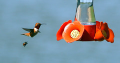 The Hummingbee and the Bumblebird! (both scoping out the fast food restaurant!) ;-) (Rick Leche) Tags: hummingbird britishcolumbia bumblebee rufoushummingbird selasphorusrufus georgecreifelmigratorybirdsanctuary specnature specanimal