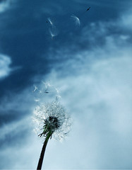 Dandelion in the wind (eqqman) Tags: sky flower beautiful topf50 wind topv1111 100v10f blow dandelion seeds 500v50f p1f1