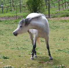 Gray Arabian (wanderingnome) Tags: horse arabian theworldthroughmyeyes thebiggestgroup ©wanderingnomez 042906 casadecaballoswinery 350explorepage092307