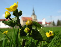 Worms-eye (and Lindas) view (Linda6769) Tags: flower church architecture germany thringen spring village meadow kirche thuringia yellowflower april bud blume froschperspektive kingcup wildblume hildburghausen wormseyeview gelbeblume churchoutside gartenblume brden kirchevonausen