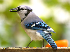 Dinner for Mr. Jay (nature55) Tags: bird germantown nature ilovenature outdoors quality wildlife aves bluejay magicdonkey featheryfriday specnature specanimal 418explorepages
