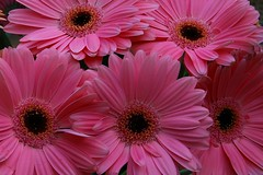Smiling daisies, happy weekend to all flickr friends (tollen) Tags: pink daisies petals eyes stamens staring