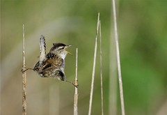 """When the Going Gets Tough---Just Hang In There"" (hearman) Tags: marshwren cistothoruspalustris"