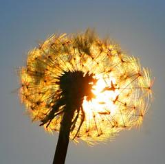 Dandelion and sun (Truus) Tags: sun dandelion truus