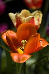 Tulpen (King of Jive) Tags: flowers garden spring tulips tuin lente bloemen tulpen