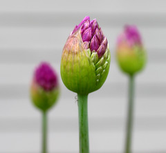 Purple Allium (roddh) Tags: flowers macro green topv111 canon purple opening bud allium pro1 purpleandgreen roddh