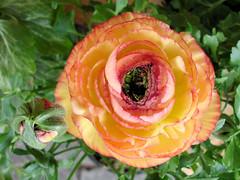 Ranunkel (Gertrud K.) Tags: flowers orange macro ranunculus ranunculaceae