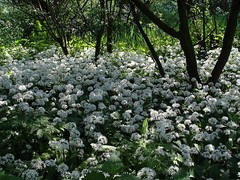 A field of Daslook - Allium ursinum - wood garlic (Coanri/Rita) Tags: park flowers white holland nature ilovenature europe natuur 2006 dordrecht wildflowers wildflower alliumursinum daslook stadsboerderij weizigt coanri publicparksandgardens wildflowersinthenetherlands