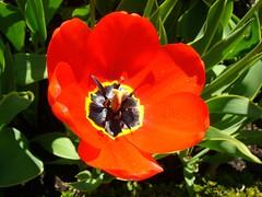 Masterpiece: Red Tulip (KurtQ) Tags: flowers sun spring sweden stockholm may tulip photofriday 06 skansen masterpiece redtulip