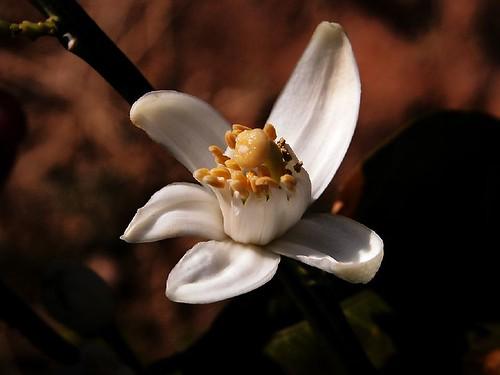 (270)  Azahar (flor del naranjo)