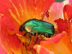 Beetle (mariamel05) Tags: green bug beetle jewelscarab