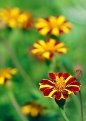 Awrad ( Flowers ) (Ammar Alothman) Tags: flowers red flower color macro green rose yellow interesting calendar princess 2006 explore amarelo kuwait ammar kuwaitcity kw q8 1on1   ammaralothman 3mmar  colorphotoaward kuwaitvoluntaryworkcenter