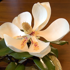 Magnolia HDR 08 (Southernpixel - Alby Headrick) Tags: usa nature photography spring al birmingham alabama magnolia hdr magiccity 3xp canoneos5d 24105f4l adobecs2 groupshowinclude southernpixel southernpixelcom