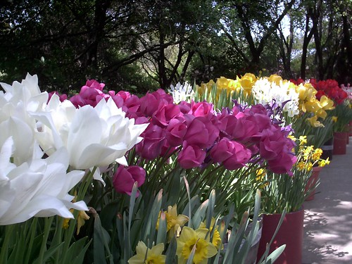 Tulips at Ironstone
